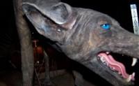 女子捕获蓝皮蓝眼恐怖怪狗 只吸鸡血不吃肉
